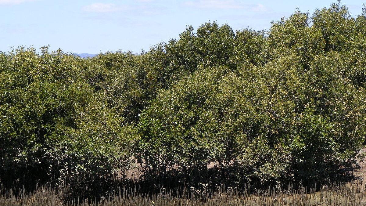 klasifikasi tanaman avicennia